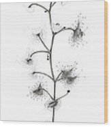 Drosera Auriculata Wood Print