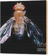 Drosophila With Dichaete Wings Wood Print