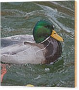 Duck Bathing Series 4 Wood Print by Craig Hosterman