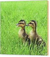 Duckling Chatter Wood Print