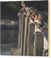 Ducks Ducks Ducks Wood Print