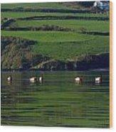 Ducks In Dingle Harbour Wood Print