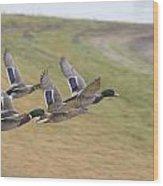 Ducks In Flight V3 Wood Print