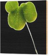 Duckweed Lemna Minor Wood Print