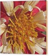 Dwarf Dahlia From The Collarette Dandy Mix Wood Print