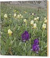 Dwarf Iris (iris Pseudopumila) Wood Print