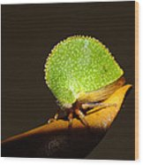 Eared Treehopper Wood Print