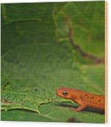 Easterm Newt Nnotophthalmus Viridescens 13 Wood Print