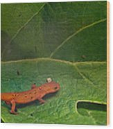 Easterm Newt Nnotophthalmus Viridescens 14 Wood Print