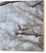 Eastern Bluebird - Old And Alive Wood Print
