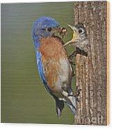 Eastern Bluebird Feeding Chick Wood Print