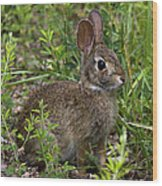 Eastern Cottontail Rabbit Dmam005 Wood Print