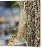 Eastern Gray Squirrel Sciurus Wood Print