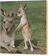 Eastern Grey Kangaroo And Joey Wood Print