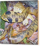Eastern Hognose Snake Wood Print by Kathy  White