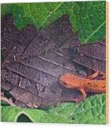 Eastern Newt Notophthalmus Viridescens 26 Wood Print