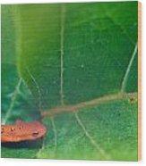 Eastern Newt Notophthalmus Viridescens 28 Wood Print