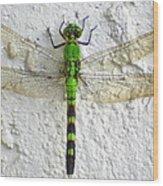 Eastern Pondhawk Dragonfly Wood Print