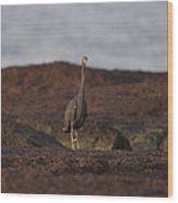 Eastern Reef Egret-dark Morph Wood Print