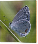 Eastern Tailed-blue Butterfly Din045 Wood Print
