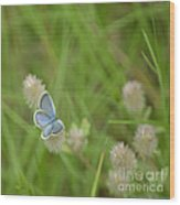 Eastern Tailed Blue Butterfly Wood Print