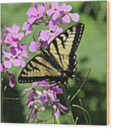 Canadian Tiger Swallowtail On Phlox Wood Print