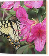 Eastern Tiger Swallowtail On Azalea Wood Print