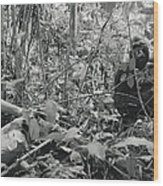 Ebobo, A Male Gorilla, Waits Wood Print