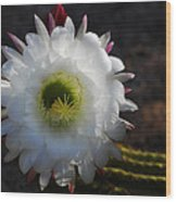 Echinopsis Candicans Wood Print