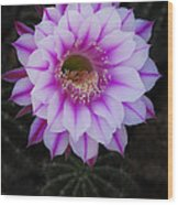 Echinopsis Wood Print