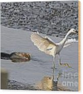 Egret Being Chased By Alligator Wood Print