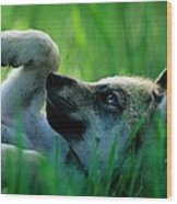 Eight-week-old Captive Gray Wolf, Canis Wood Print