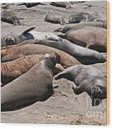 Elephant Seal Colony On Big Sur  Wood Print