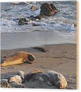 Elephant Seals At Piedras Blancas Wood Print