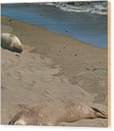 Elephant Seals Molting Wood Print by Steven Ainsworth