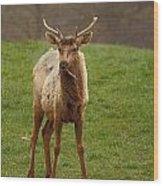 Elk 1 Wood Print