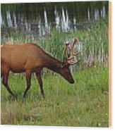 Elk Cervus Elaphus Jasper National Wood Print