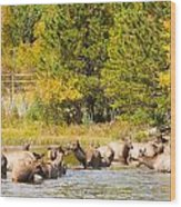 Elk Herd With Autumn Colors Wood Print