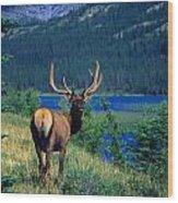 Elk In Summer By Mountain Lake Wood Print