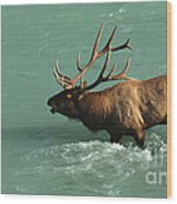 Elk In The Athabasca River Wood Print