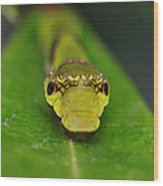 Emerald Swallowtail Caterpillar Wood Print