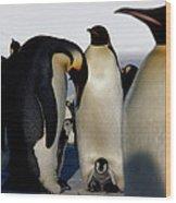 Emperor Penguins Sheltering Chicks Wood Print