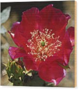 Englemann's Prickly Pear Cactus  Wood Print