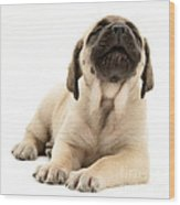 English Mastiff Puppy Wood Print