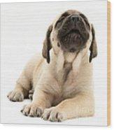 English Mastiff Puppy Wood Print by Jane Burton