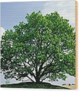 English Oak Quercus Robur In Spring Wood Print