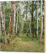 English Woods Silver Birch Trees Wood Print
