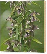 Epipactis Helleborine Wood Print