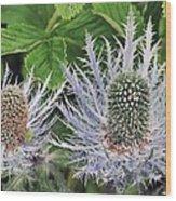 Eryngium Alpinum Flowers Wood Print