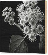 Eupatorium In Black And White Wood Print